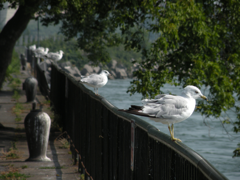 DSCN5675 [2010aug10]: line of gulls, metal fence at rivers edge, a tree extends green leaves to water